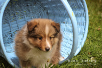 Sailor: Male Shetland Sheepdog (Full Price $599) Deposit