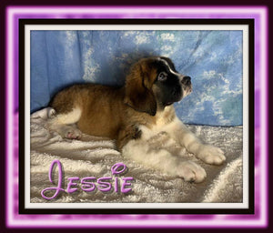 female saint bernard for sale near me in ohio