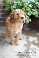 Sally Female AKC Standard Poodle $899