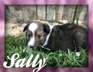 Sally: Female Shetland Sheepdog (Full Price $750) Deposit