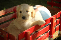 Sally: Female Goldendoodle (Full Price $499.00) Deposit