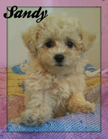 Sandy: Female Poochon (Full Price $1395.00) Deposit