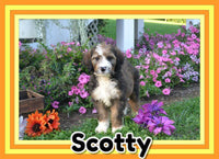 Scotty Male Bernedoodle $725