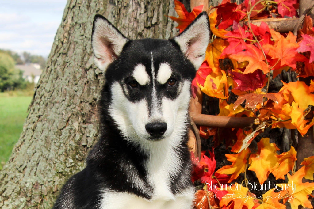 Shadow: Female ACA Siberian Husky (Full Price $425.00) Deposit