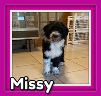 Missy Female Mini Sheepadoodle $1800