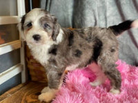 Missy Female Mini Sheepadoodle $3800