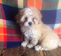 Shihpoo puppies for sale in Ohio