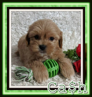 Cash Male Shihpoo $1900