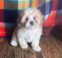shihpoo puppies for sale NEAR ME OHIO