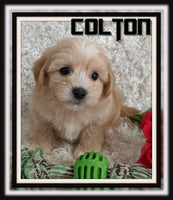 Colton Male Shihpoo $1900