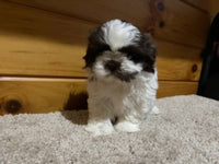 Snickers Male Shihtzu $1800