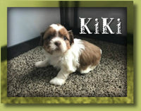 KiKi Female Shihtzu $950