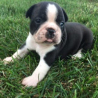 Sid: Male Frenchton (Full Price $1399.00) Deposit