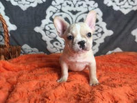 cheap French Bulldogs