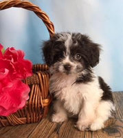 Russell: Male Shihpoo (Full Price $750.00) Deposit