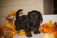 Snickers: Male Schweenie (Full Price $475.00) Deposit