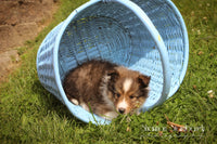 Snoopy: Male Shetland Sheepdog (Full Price $699) Deposit - Pups for sale in Ohio