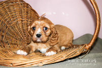 Sparky Male AKC ACA Cavalier (Full Price $1300.00) Deposit