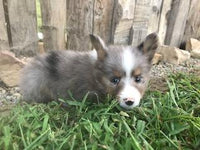 Squirt: Male Aussie Sheltie Mini Mix (Full Price $750.00) Deposit - Pups for sale in Ohio