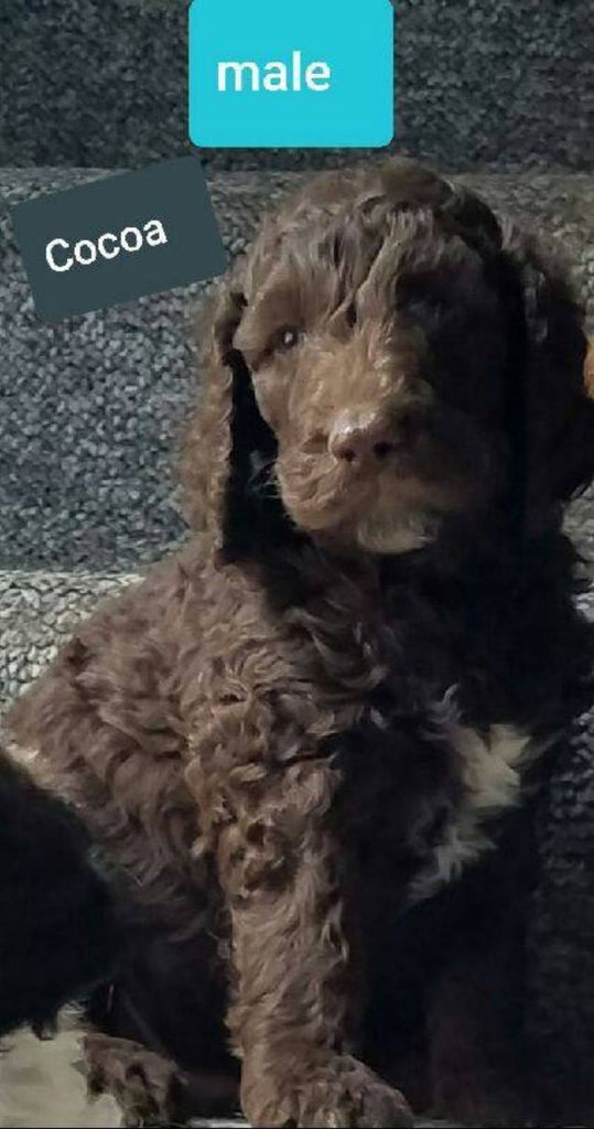 Cocoa Male Golden English Labradoodle $690