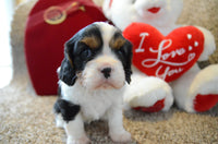 Sugar Ball: Female AKC Cavalier (Full Price $1199.00) Deposit