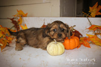 Sweetie: Female Schweenie (Full Price $525.00) Deposit