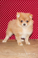 Tucker Male ACA Pomeranian $875