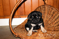Teddy Male Pug Mix $595