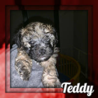 Teddy Male Shihtzu $650