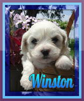 Winston: Male Teddy Bear Shih-Chon (Full Price $695.00) Deposit