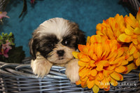 Timmy: Male ACA Shihtzu (Full Price $675.00) Deposit