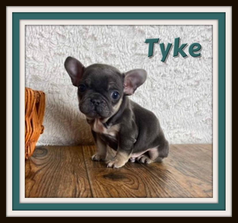 akc french bulldog for sale
