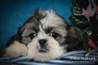Trace: Male ACA Shihtzu (Full Price $675.00) Deposit