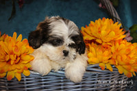 Trae: Male ACA Shihtzu (Full Price $675.00) Deposit