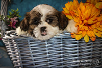 Travis: Male ACA Shihtzu (Full Price $675.00) Deposit
