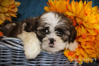 Troy: Male ACA Shihtzu (Full Price $675.00) Deposit