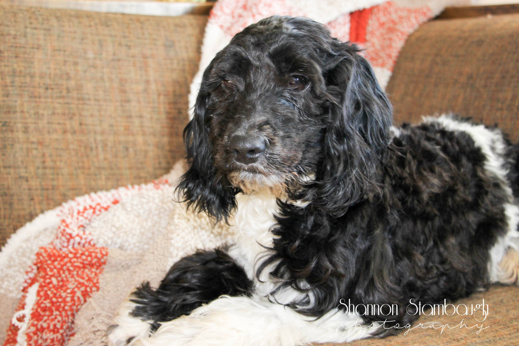 Tucker Male Cockapoo $399