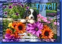 Tyrell Male Bernese Mountain Dog AKC $450