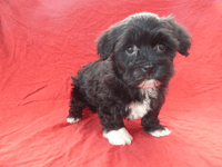 Biscut: Female AKC Havanese  (Full Price $1000.00) Deposit - Pups for sale in Ohio