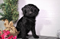 Chase Male Labradoodle (Full Price $750) Deposit