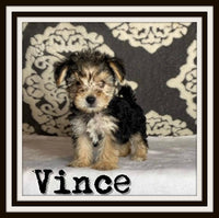 Vince Male Yorkie-Chon $2000