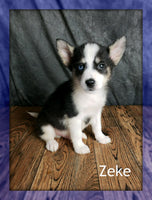 Zeke:  Male Pomsky (Full Price $950) Deposit