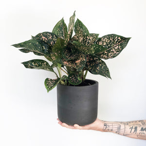 Aglaonema - Pink Dalmation