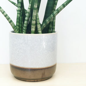Sansevieria Cylindrica in Light Grey/Bronze Pot