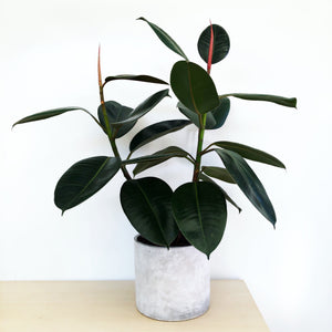 Rubber Plant in Concrete Pot
