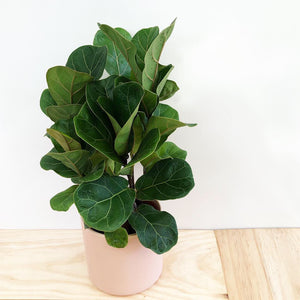 Fiddle Leaf Fig - Bambino in Pink Pot