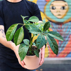 Schefflera Umbrella Plant in Pink Pot