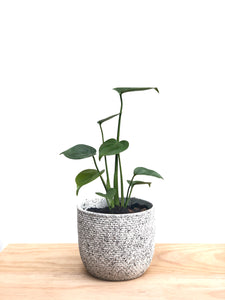 "Monstera Deliciosa in a ""Cookies and Cream"" Pot"