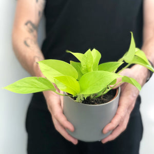 Goldilocks - Neon Pothos in Grey Pot