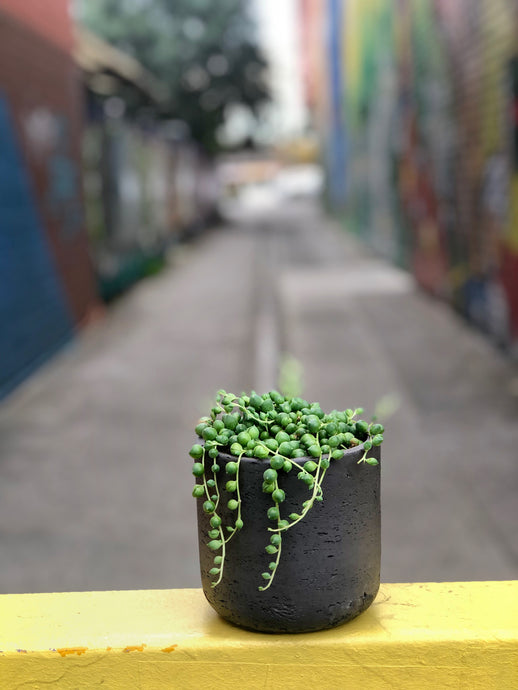 String Of Pearls In Charcoal Concrete Pot